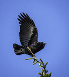 Crow. A Crow sitting in the top of a tree Stock Images