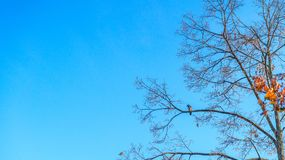 Crow sitting on a tree branch in late autumn against the blue sk royalty free stock photo