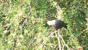 Crow sitting on a tree branch twig video footage. Nature wild bird animal stock video footage