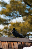 Crow sitting on a wooden roof Stock Photography