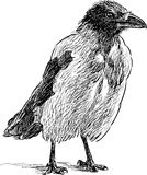 Crow sketch. Vector drawing of a big crow Royalty Free Stock Image