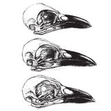 Crow Skull. Traditional drawing Set 01 Royalty Free Stock Photo