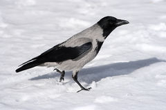 Crow on a snow. Run raven on a white snow Royalty Free Stock Images