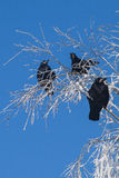 Crow. On a snow-covered tree in frost Stock Photo
