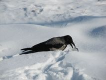 Crow snow feeding food waste. A bird that is very hungry and permeable is attached to the snow of the snow. But she is very resourceful and has found a lot of Royalty Free Stock Photography