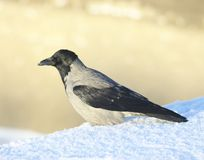 Crow in the snow Royalty Free Stock Images