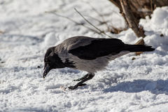 Crow on snow Royalty Free Stock Image