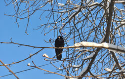 Crow on snowy branch Stock Photography