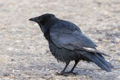 A crow on Southampton Common. A crow on a path on Southampton Common royalty free stock photo