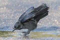 A bird splashing on Southampton Common stock photo