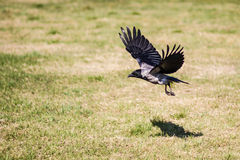 Crow with spread wings flying over a grassy field Stock Photos