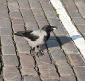 Crow on square Royalty Free Stock Images