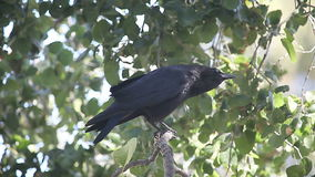 Crow squawking, scratching