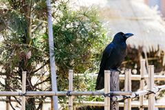 Crow stand at bamboo fence with green trees in the background at Sapporo in Hokkaido, Japan royalty free stock images