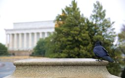 A crow stand still in front of Lincoln memorial. Lovely day out royalty free stock photography