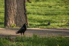 Crow stand and waiting royalty free stock image