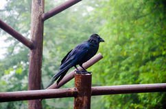 Crow standing on fence Stock Images