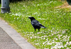 Crow standing on grass Royalty Free Stock Photography