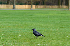 Crow standing on a neat green lawn in a park. Large black crow standing sideways on a neat green lawn in a park as it forages, with copy space above Stock Photos