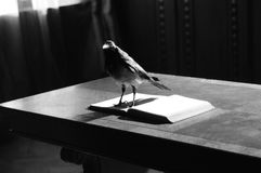 Crow standing on open book Stock Photos