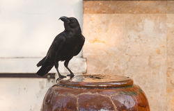 Crow standing Royalty Free Stock Images
