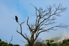 Crow standing on stick Royalty Free Stock Photo