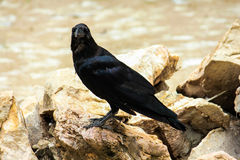 Crow. Is standing on the stone royalty free stock photo