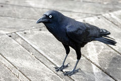 Crow standing on wooden deck Stock Photo