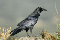 Crow on stone Royalty Free Stock Photo