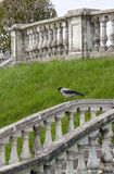 Crow on the Stone Balustrade Stock Image