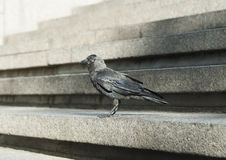 Crow at stone steps Royalty Free Stock Photos