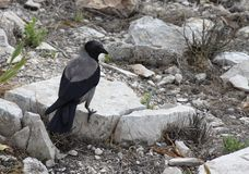 Crow on a stones. Black crow sits on the big stones Stock Photography