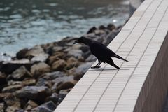 Crow with string in beak at seaside Georgetown Malaysia Royalty Free Stock Photo