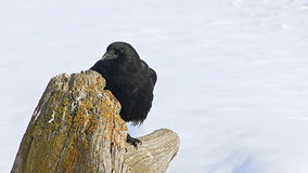 Crow on a stump. Video of crow on a stump stock footage