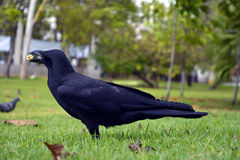 Crow sweetmeat. Black Crow sunning itself eat  sweetmeat  on a grass at a public park Stock Images