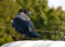 Crow takes a bath in a fountain. Black bird covered by water drops on white marble and tree on background Royalty Free Stock Photography