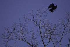 Crow Taking Flight. A large crow taking flight from a budding maple tree royalty free stock images