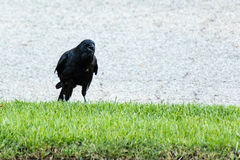 Crow tell me that I was disturbing it. A crow tell me that I was disturbing it Stock Images