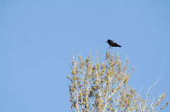 Crow on the Top Royalty Free Stock Photo
