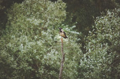 Crow on top of a dead tree branch Royalty Free Stock Photo
