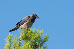 Crow on the top of tree Stock Images