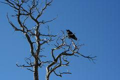 Crow on the tree. Crow is sitting on the tree Royalty Free Stock Image