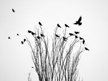 Crow in a tree. Black raven (crow) on the tree branch Stock Images