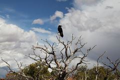 Crow in tree Royalty Free Stock Photos