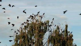 Crow on tree stock footage