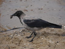 Crow on tree Royalty Free Stock Image