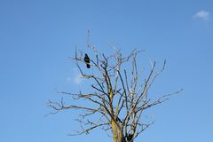 Crow at tree with blue sky in background. One black crow at old dry tree over blue sky Stock Image
