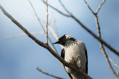 Crow on a tree branch closeup Royalty Free Stock Photos