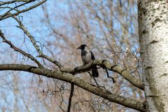 Crow on a tree branch without leaves. Big gray crow on a tree branch against the blue sky royalty free stock images