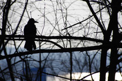 Crow on a tree branch Royalty Free Stock Image